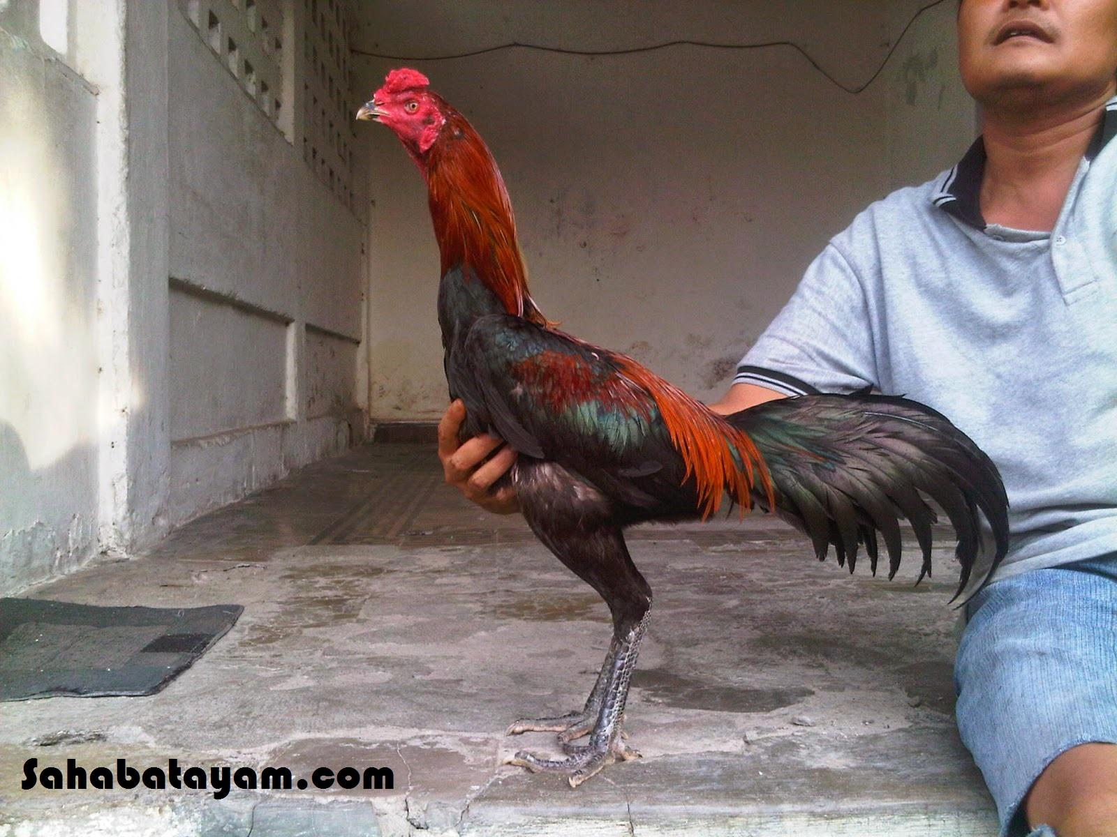 81+ Gambar Ayam Dan Ciri Cirinya Terbaik