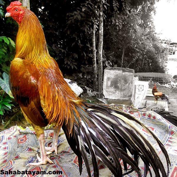 400+ Gambar Ayam Yang Bagus HD Paling Keren